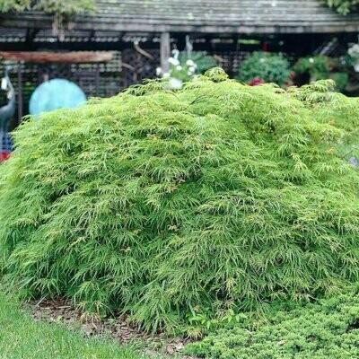 Acer palmatum dissectum 80-100cm