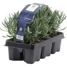 Lavandula angustifolia hidcote 6 kos v paketu