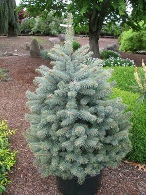 Picea pung. 'Blue Diamond' 100-125 CM C15