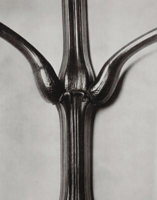 Karl Blossfeldt - Photogravure