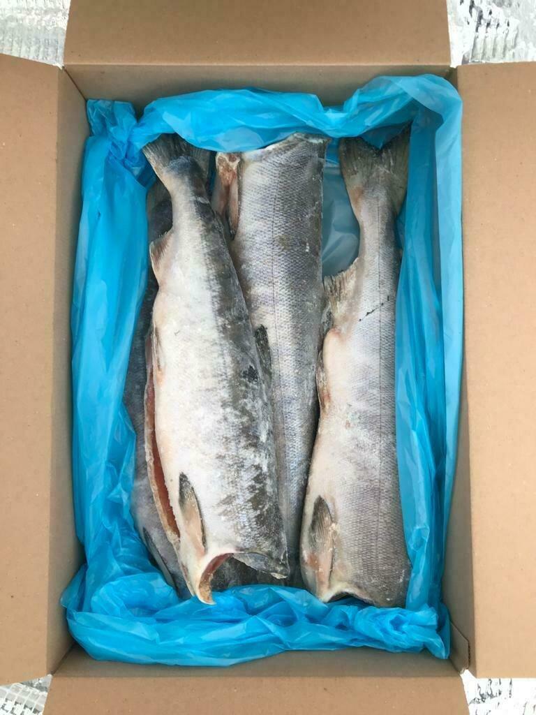 Savvaļas ketlasis (7.0 KG)