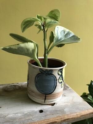 'Bold Blue' Plant Pot
