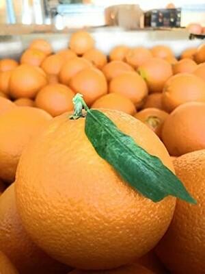 Oranges à feuilles non traité au kg