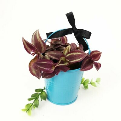 Indoor house plant gift - Tradescantia