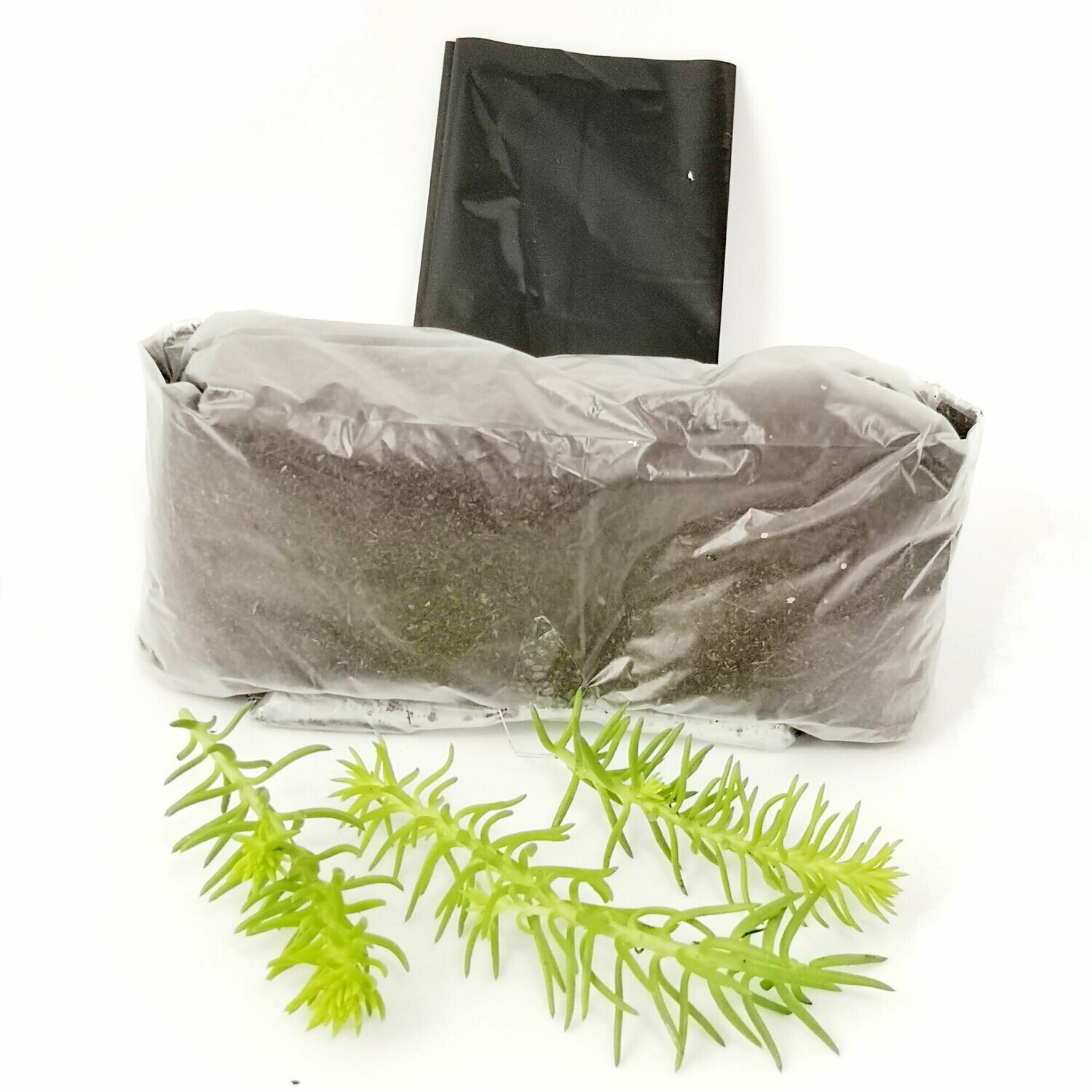 Angelina Plant Cutting - growing kit