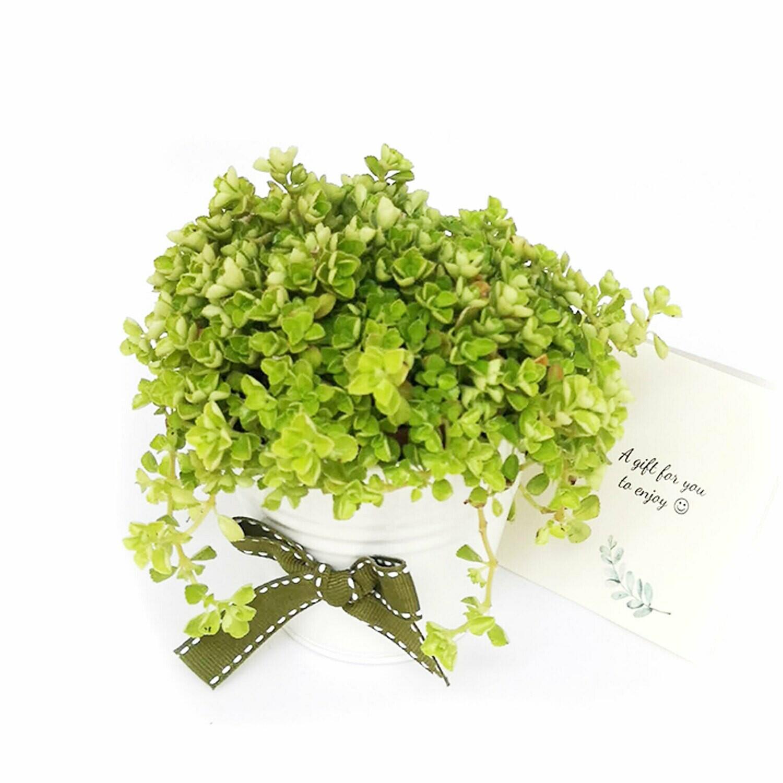 Sedum perennial plant gift