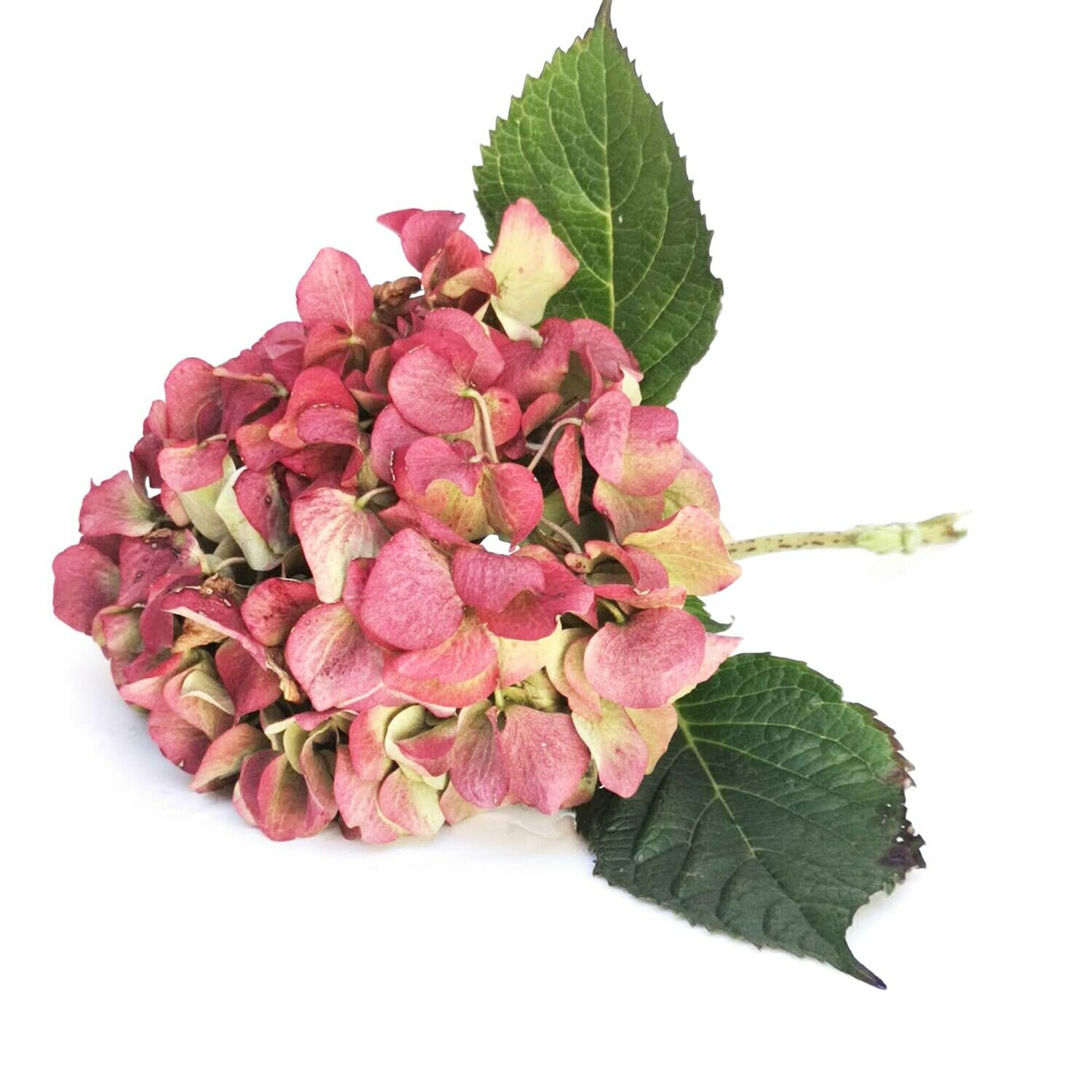 Hydrangea Heads Natural for drying, flower heads, dried flowers