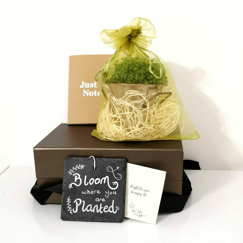 Baby Tears Terrarium Christmas Plant Gift Box