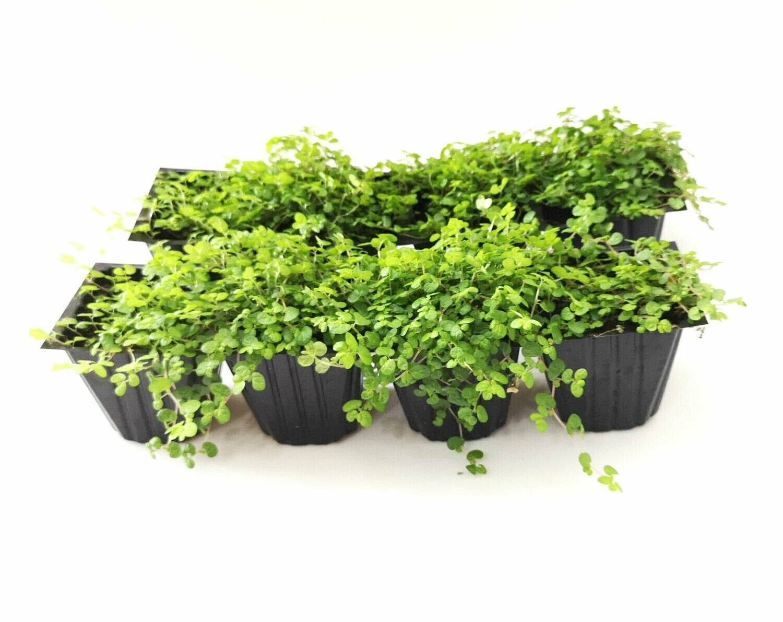 Sedum Baby Tears trailing house plant