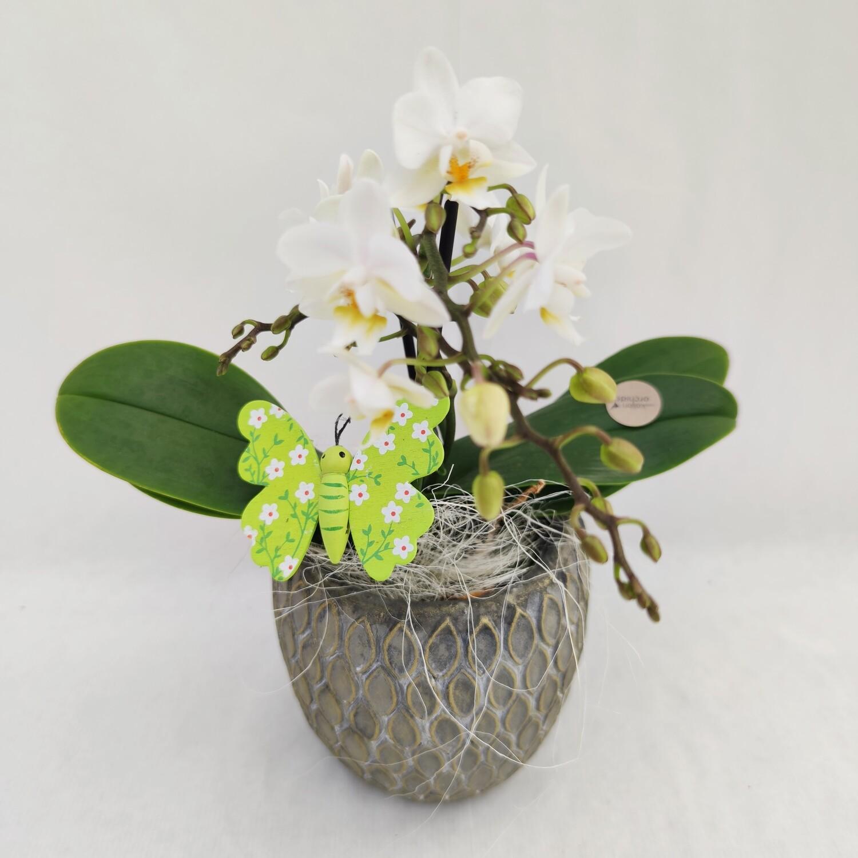Orchidee Phalaenopsis Multiflora mit Übertopf und Deko