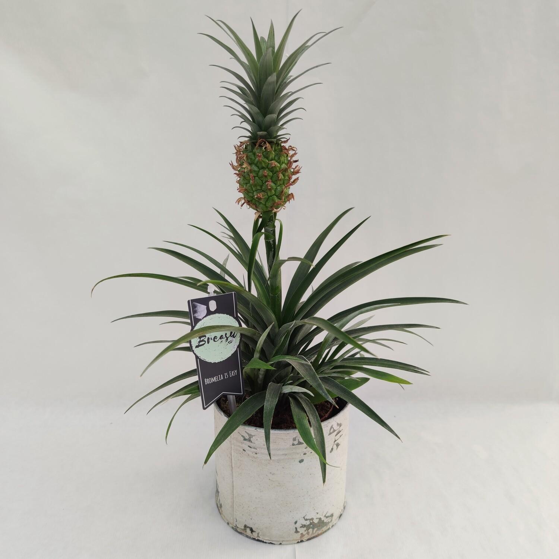 Ananas Pflanze mit Übertopf Metall
