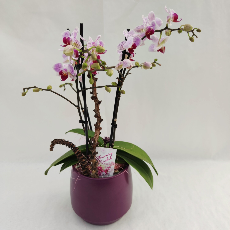 Phalaenopsis Orchidee mit Deko und Übertopf