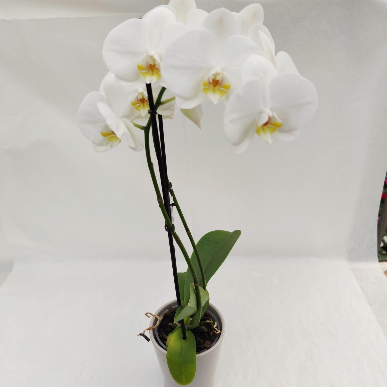 Orchidee weiss mit Übertopf