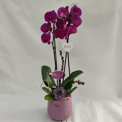Phalaenopsis Orchidee mit Übertopf