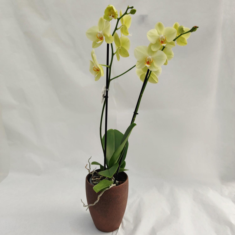 Gelbe Orchidee mit Übertopf