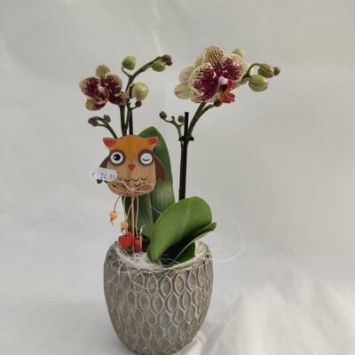 Mittelgrosse Orchidee mit Übertopf und Deko