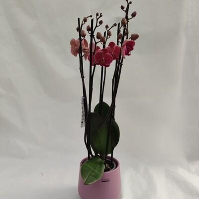Orchidea Phalaenopsis 4 Triebe mit übertopf