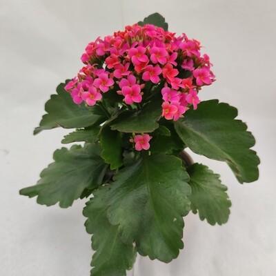 Kalankoa Pink mit Übertopf