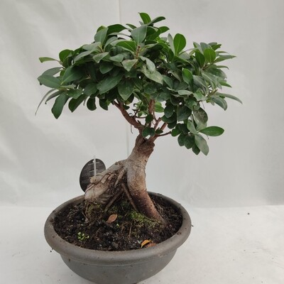 Bonsai Ficus in Plastik-Schüssel