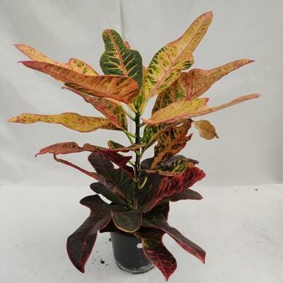 Croton Excellent 60/80 cm hoch