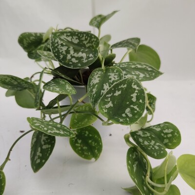 Scindapsus zum aufhängen (Hängende pflanze)