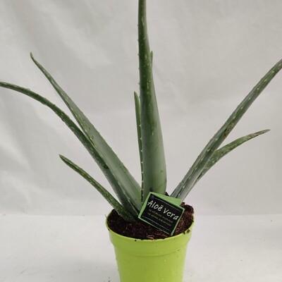 Aloe Vera klein