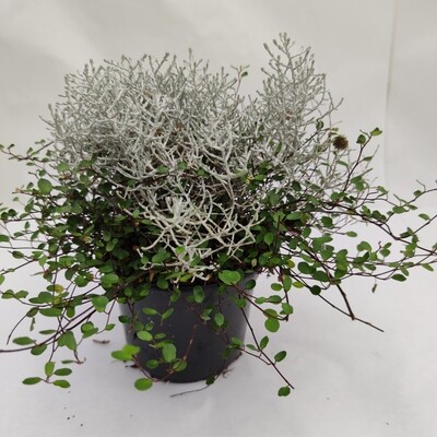 Muellenbeckia+Calocephalus XXL