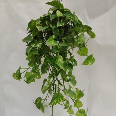 Efeutüte (Hängende pflanze)