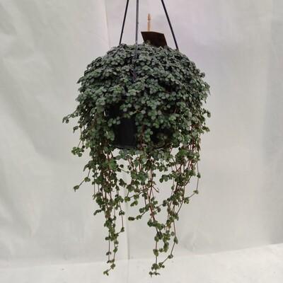 Pilea (Hängende Pflanze)