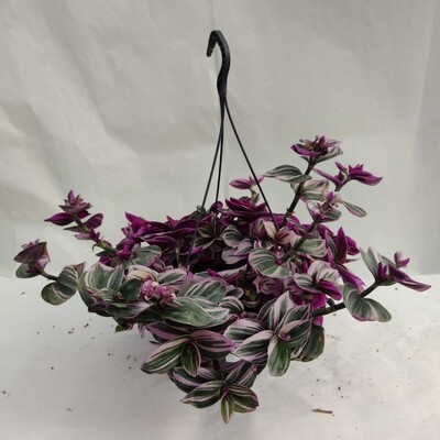 Tradescantia (Hängende Pflanze)