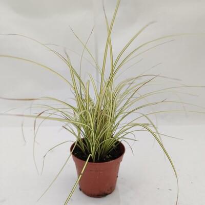 Carex gras im 9 cm Topf