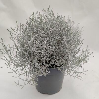 Silberdraht  XXL winterhart groß