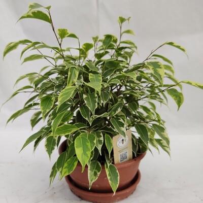 Ficus Benjamin Natasha zwerg