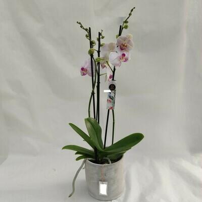 Phalaenopsis mit Übertopf