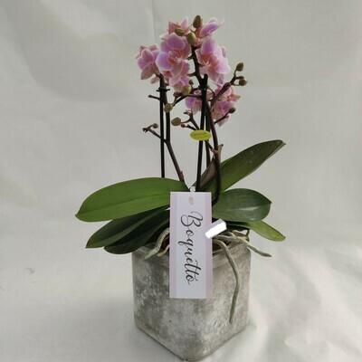 Orchidee mit Glas Topf (inklusive)
