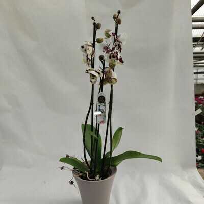Orchidee mit Übertopf