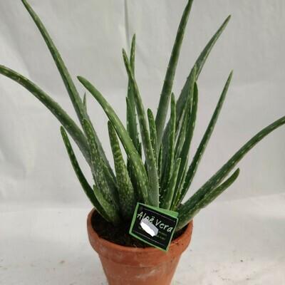 Aloe Vera Groß im Terrakotta -Topf