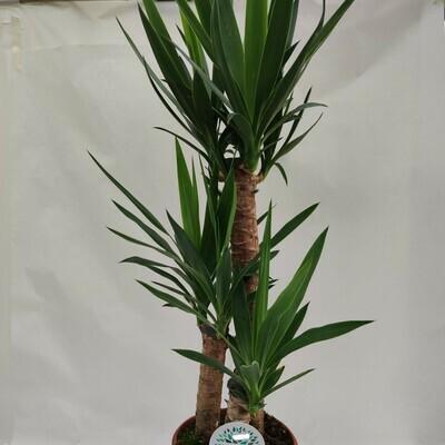 Yucca mittelgross ca. 60/80 cm hoch