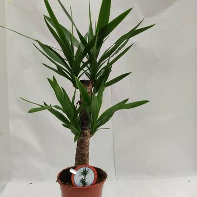Yucca klein ca.40 bis 60 cm hoch