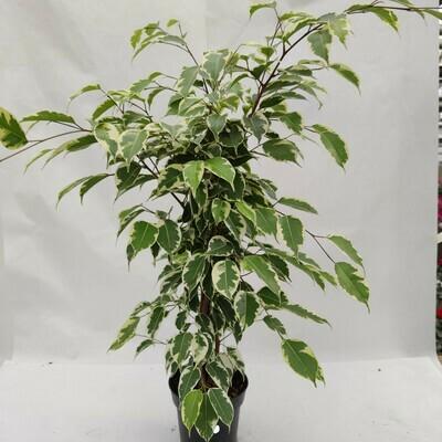 Ficus Starlight 60 bis 80 cm hoch(Luftverbesserung)