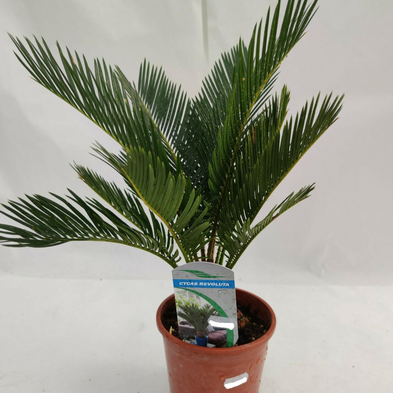 Palmfarn (Cycas Revoluta)