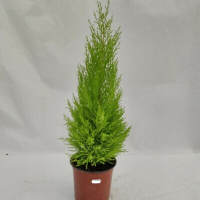 Cupressus macrocarpa Wilma ca.60 cm