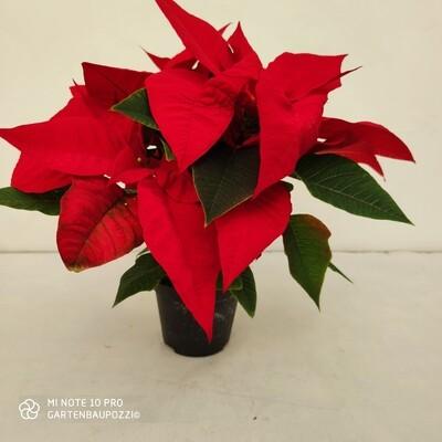Weihnachtsstern, mittelgross, Rot