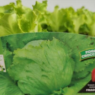 Brasilianer Salat 9 Pflanzen