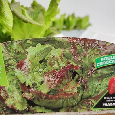 Canasta Salat , 9 pflanzen