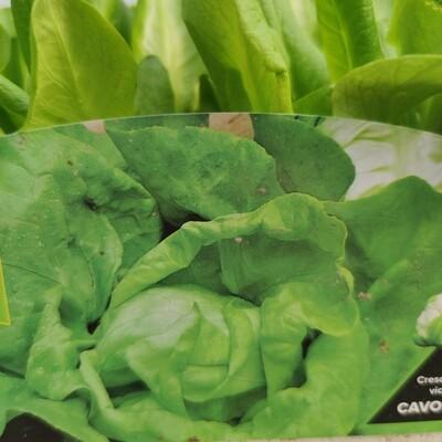 Maikönig Salat, 9 Pflanzen