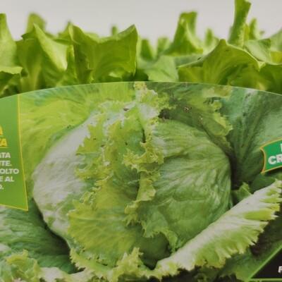Iceberg Salat , 9 pflanzen