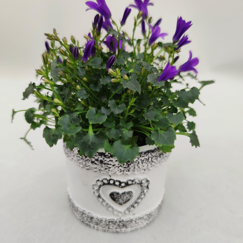 Mini Glockenblume Violett