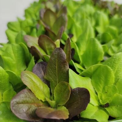 Salat Salanova Schnittsalat 9 Pflänzchen