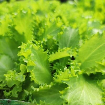 Salat Rutschelte Endivie, 9 Pflänzchen